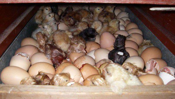 Что сделать, чтобы курица не села на яйца?