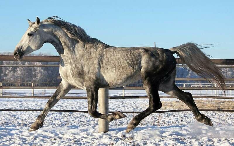 Чем отличаются орловские рысаки: история, породные признаки, фото коней