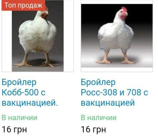 Куры росс 308