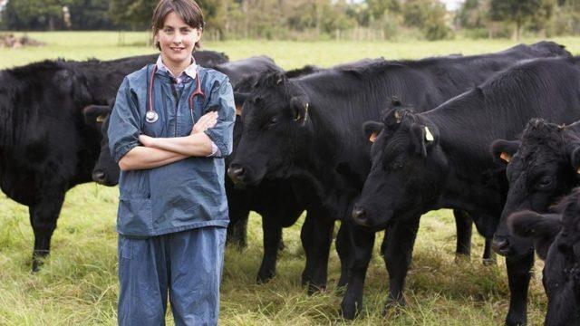 Как определить стельность коров народными средствами