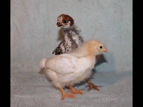 Забился зоб у курицы что можно сделать, советы и рекомендации птицеводов