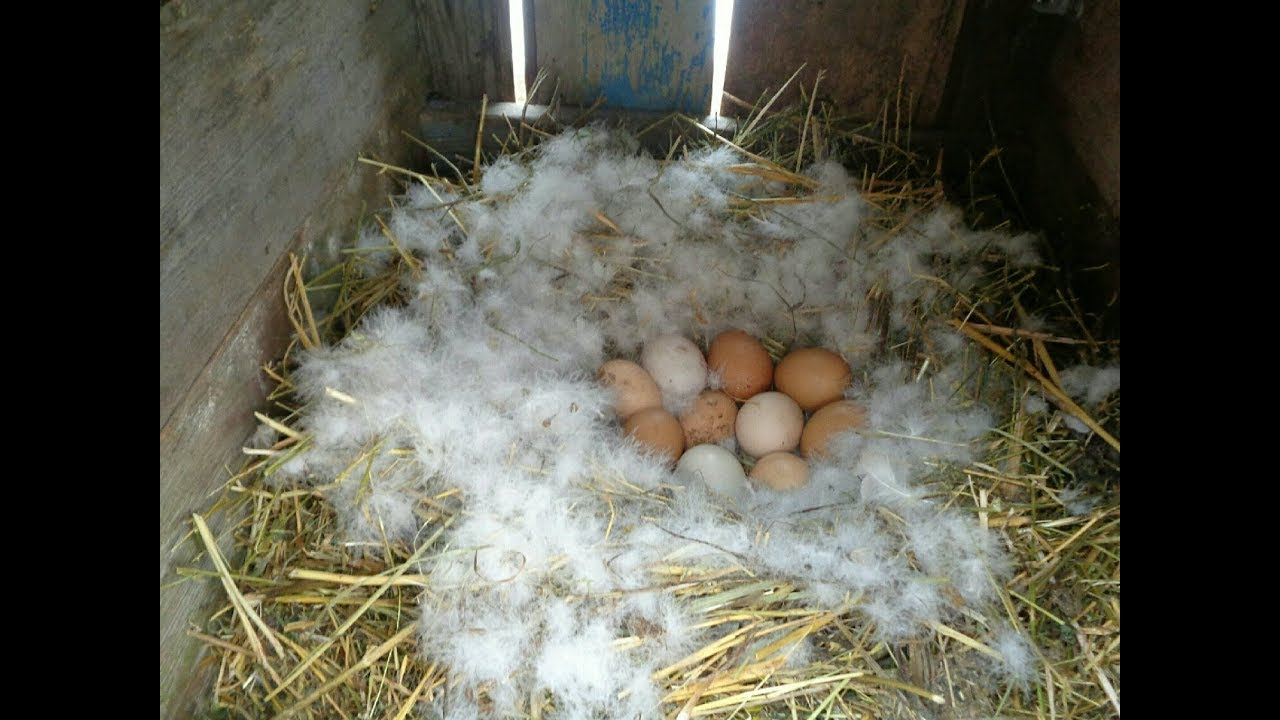 Высиживание утят индоуткой: когда начинает садиться, сколько высиживает яиц, сколько сидит на яйцах