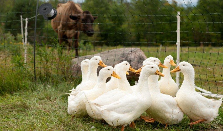4 варианта как ощипать гуся  быстро и правильно в домашних условиях | ptichnik.club