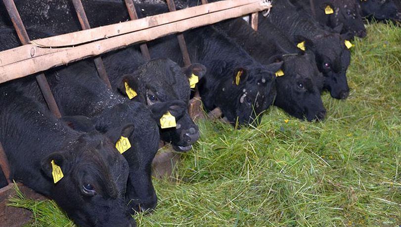 Беспривязное содержание крупного рогатого скота - особенности, содержание на подстилке, цех молочного производства