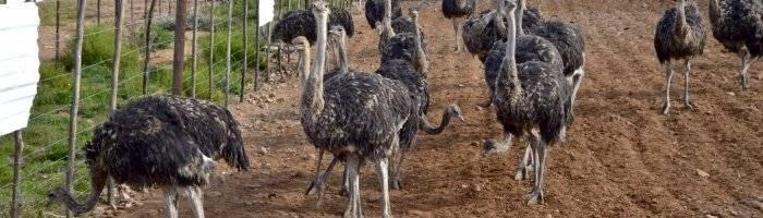 Разведение, содержание и выращивание страусов в домашних условиях