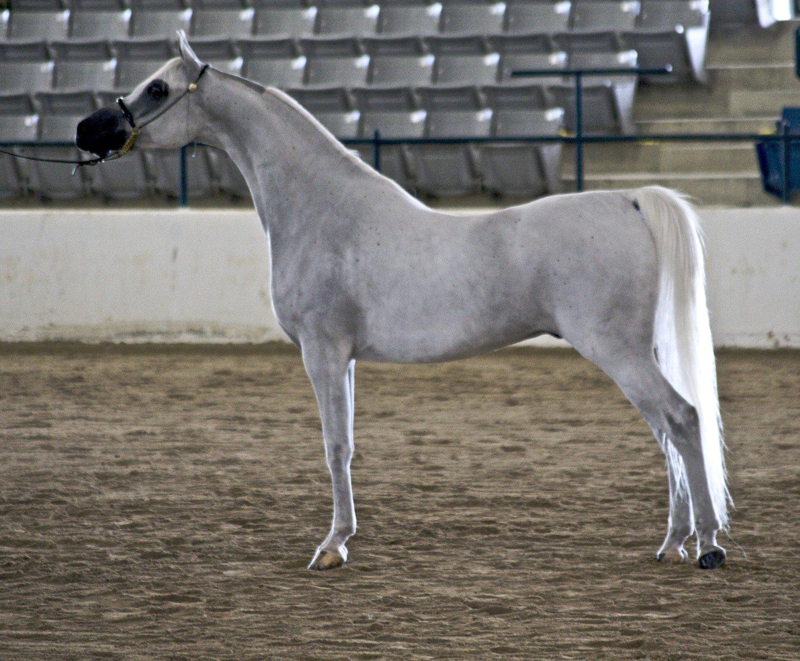 Арабская лошадь: описание породы