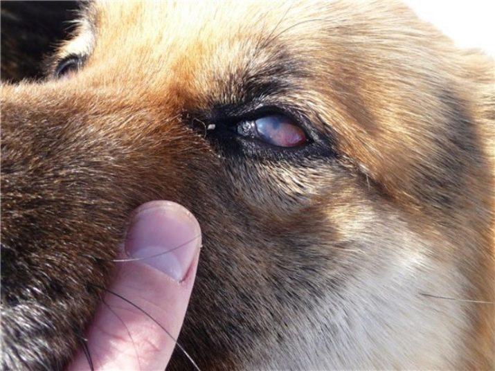 Причины заболевания глаз у кроликов и их лечение
