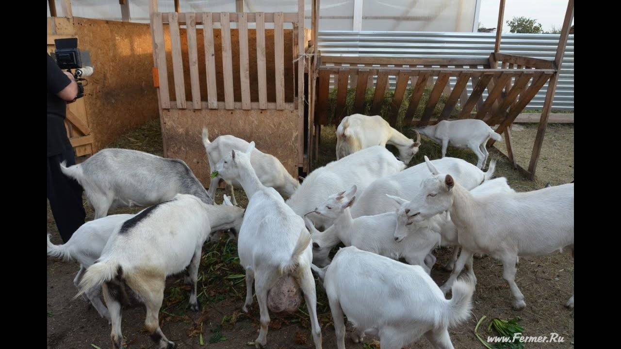 Разведение коз в домашних условиях, уход и содержание для начинающих