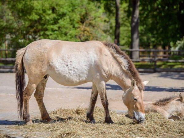 Лошадь пржевальского – великое открытие русского натуралиста