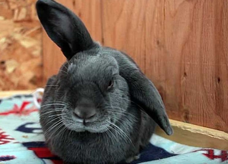 Как быстро вылечить коросту у кроликов ушах  от ушного клеща, лучшие средства и лекарства