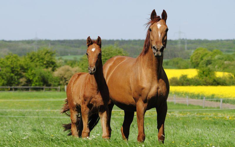 Ганноверская порода лошадей: особенности характера и история