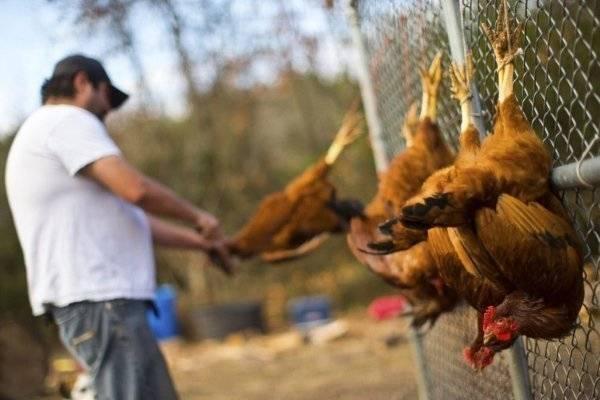 ✅ как в домашних условиях забить курицу, петуха, первичная обработка птицы - tehnomir32.ru
