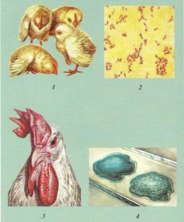 Пастереллез у кур: симптомы и лечение