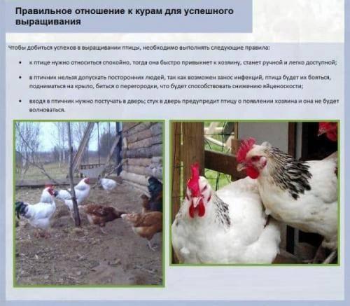 Павловская курица - описание породы, содержание, кормление и разведение птицы