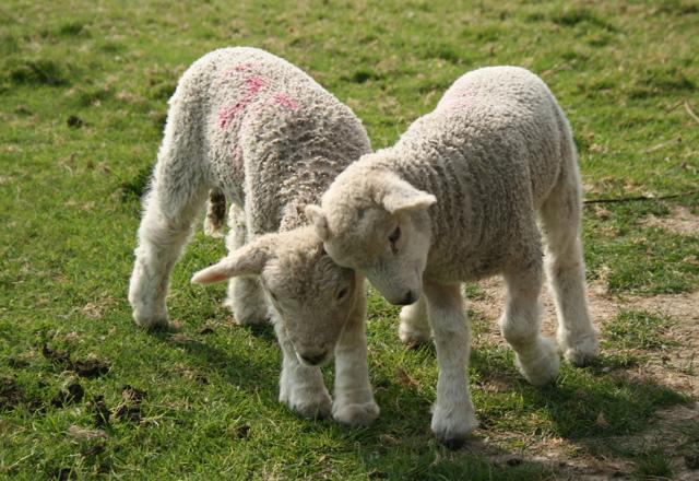 Как называют детеныша овцы и барана?