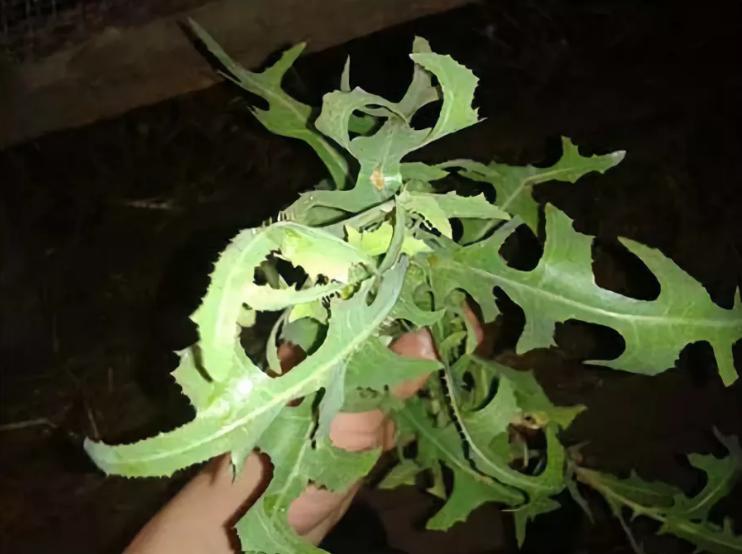 Как используют растение осот в народной медицине