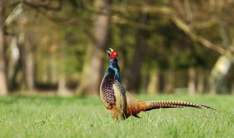 Фазан: фото и основные характеристики этой птицы, среда обитания и питание