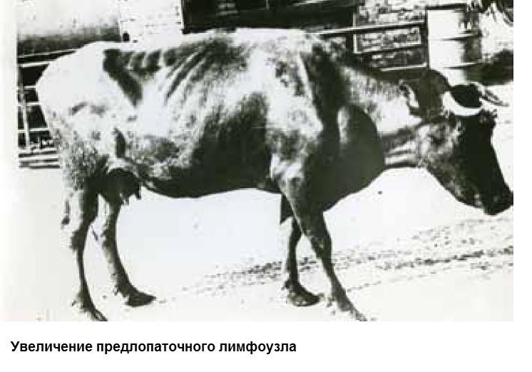 Что такое лейкоз у коров и опасен ли он для человека
