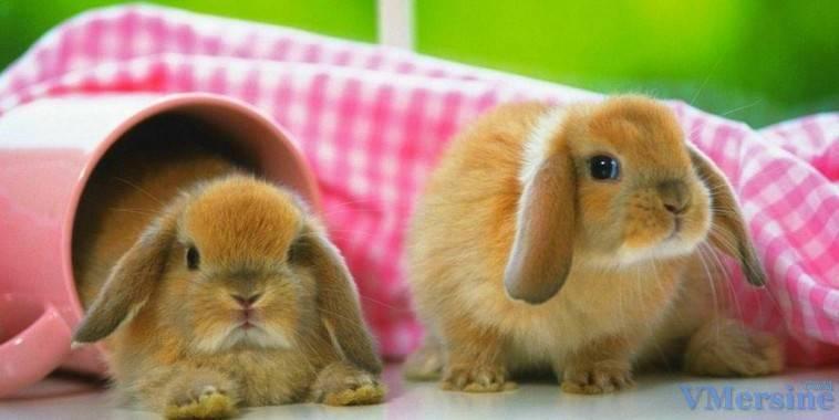 ✅ о карликовом кролике: описание породы и уход, как выбрать японского кролика - tehnomir32.ru