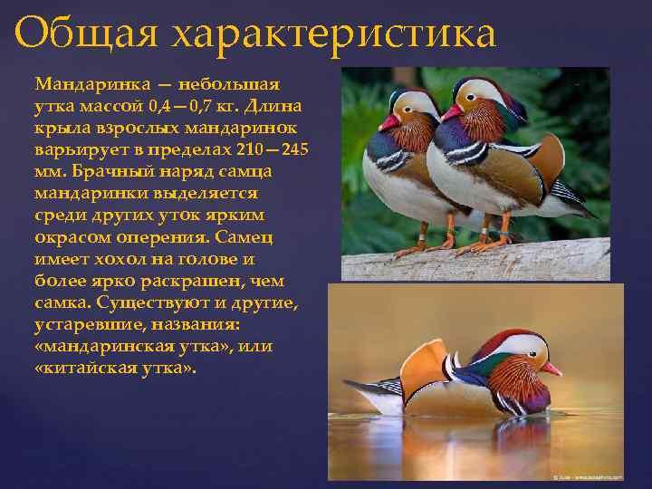 Утки муларды: описание и характеристики породы, фото, содержание и уход, отзывы