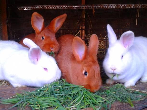 Новозеландский кролик – идеальный выбор для заводчиков