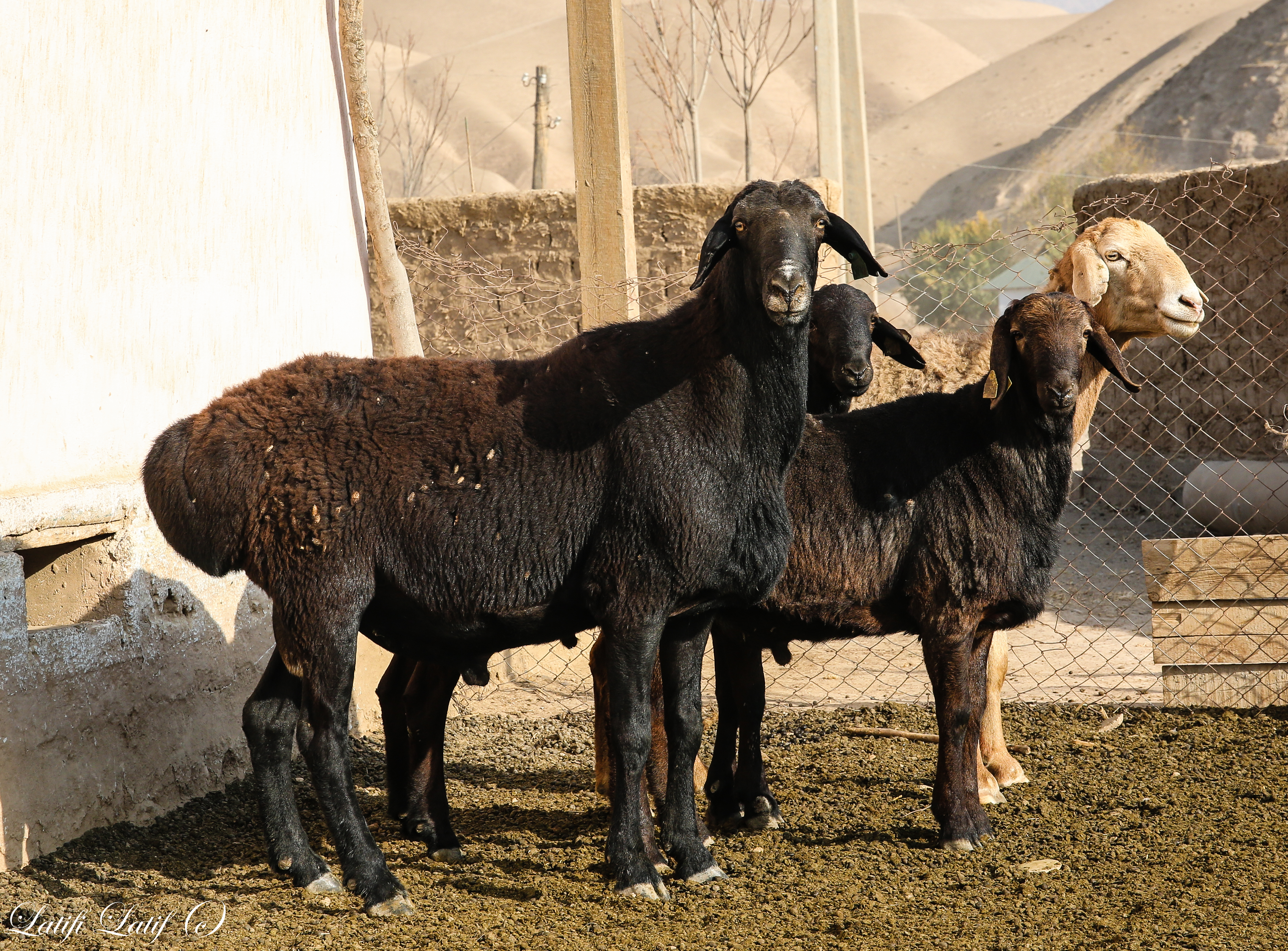 Гиссарская порода овец: характеристика, описание