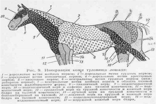 Анатомическое строение лошади: внутреннее и внешнее