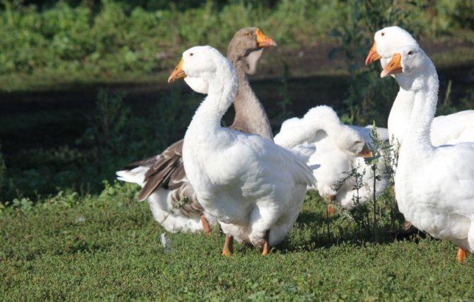 Разведение гусей: особенности и специфика