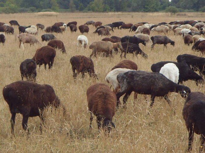 Эдильбаевские овцы: как разводить и в чем их преимущества?