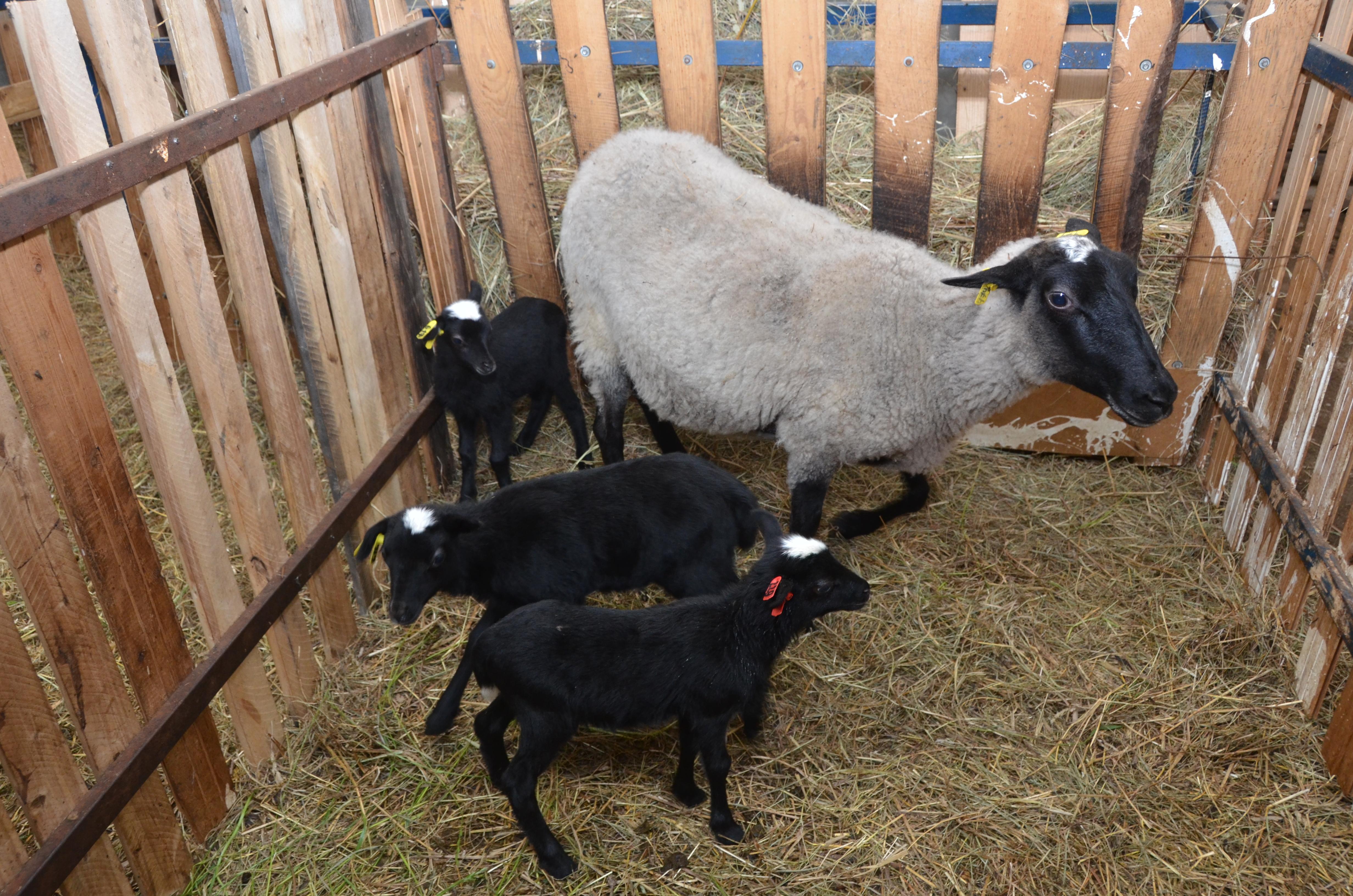 Романовские овцы - определение племенной породы и советы по выбору овцы (95 фото)