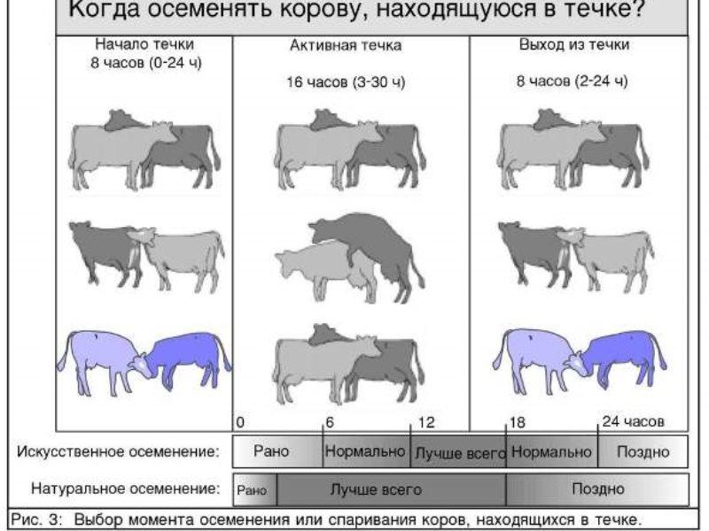 Яловая корова: что что значит, причины и профилактика