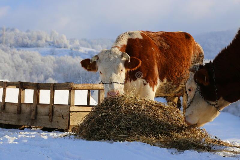 Возраст быков: сколько живут, когда могут покрыть корову, в каком возрасте режут