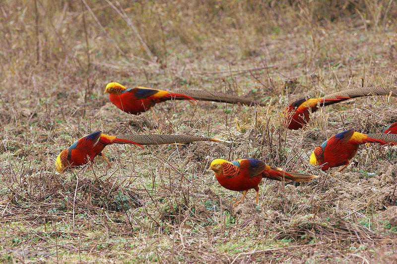 Как поймать фазана: виды ловушек для птицы, как сделать силки своими руками