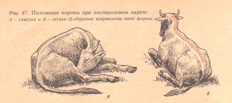 Образование послеродового пареза у коров, возможные осложнения и методы лечения