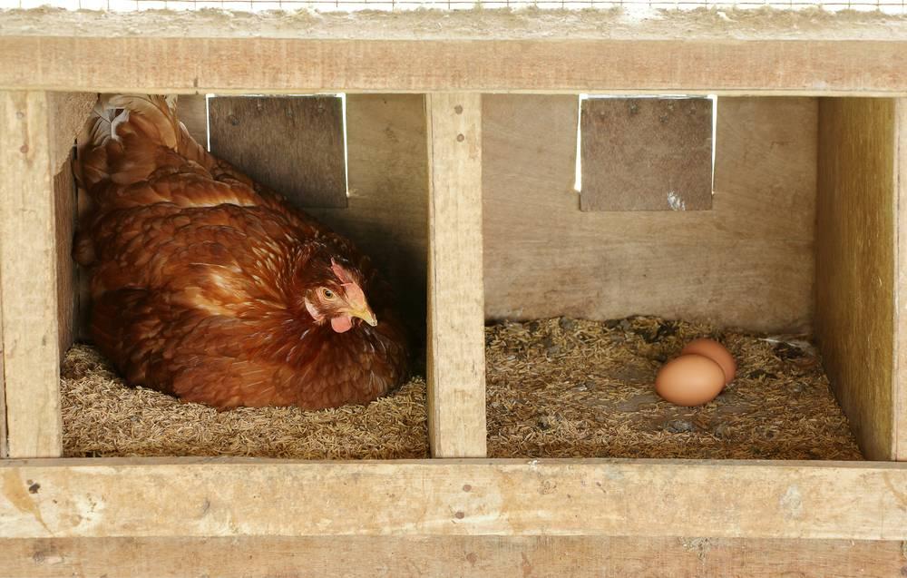 Как отучить кур клевать свои яйца в гнезде - простой способ
