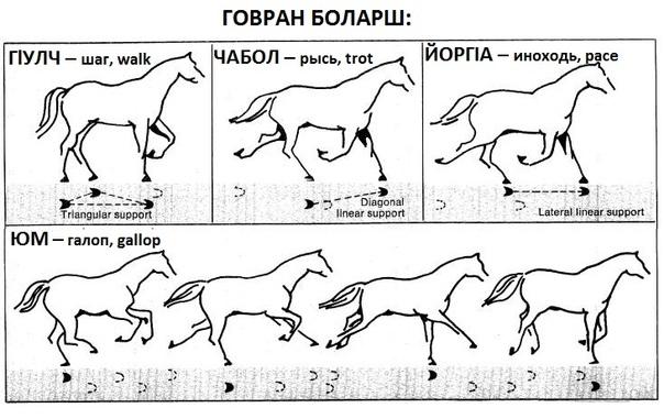 Способы и виды бега лошади (аллюры): шаг, рысь, иноходь, галоп