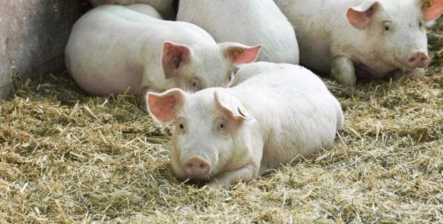 Чесотка у свиней и поросят: короста, саркоптоз, парша