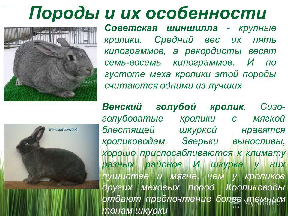Описание и характеристика кроликов породы шиншилла, правила содержания