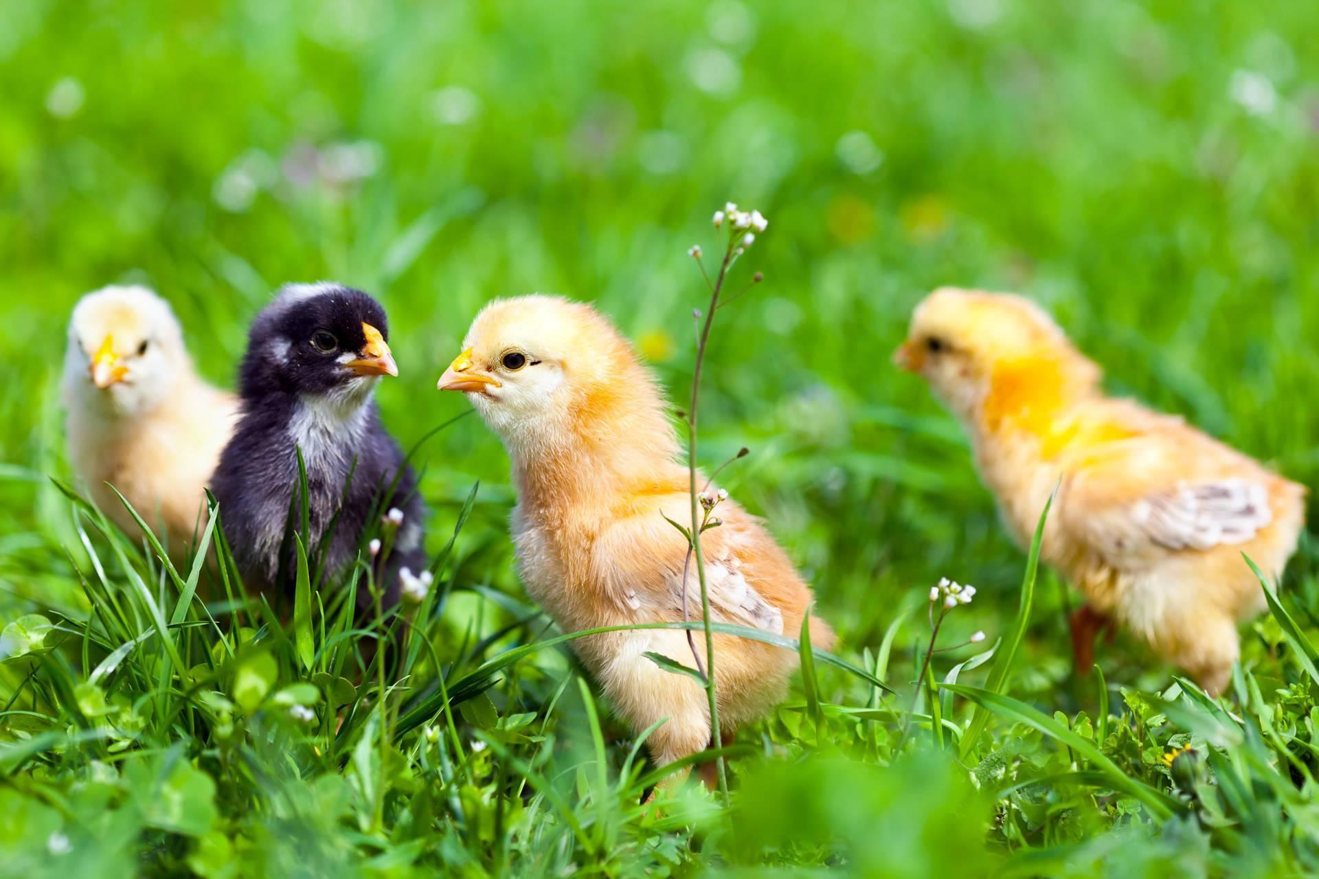 ✅ трава для цыплят: какую траву можно давать, в каком возрасте кормить зеленью - tehnomir32.ru