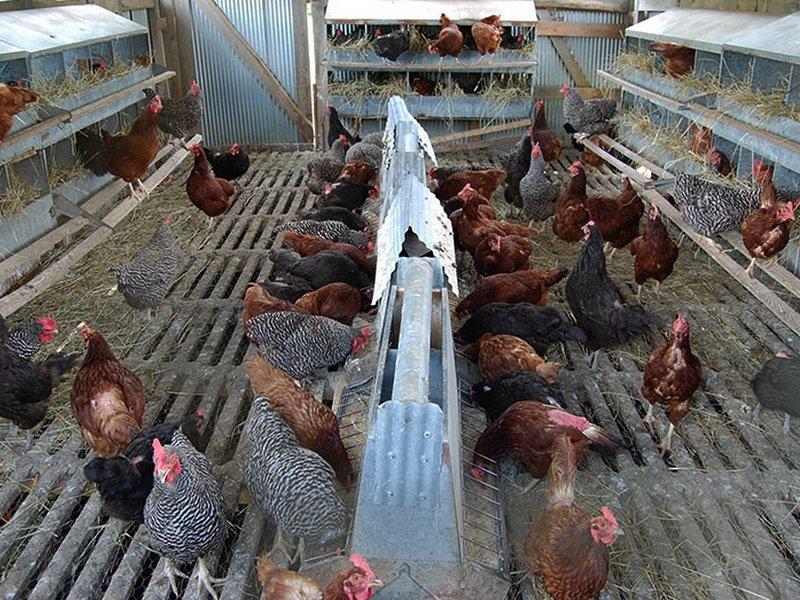 Разведение кур в домашних условиях — cельхозпортал