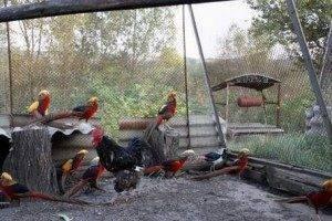 ᐉ разведение фазанов в домашних условиях для начинающих - zooon.ru