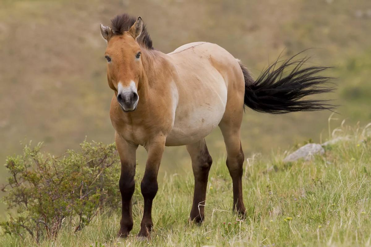 Лошадь пржевальского – фото, описание, ареал, рацион, враги, популяция