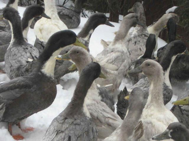 Утка голубой фаворит: описание породы, разведение, выращивание и уход