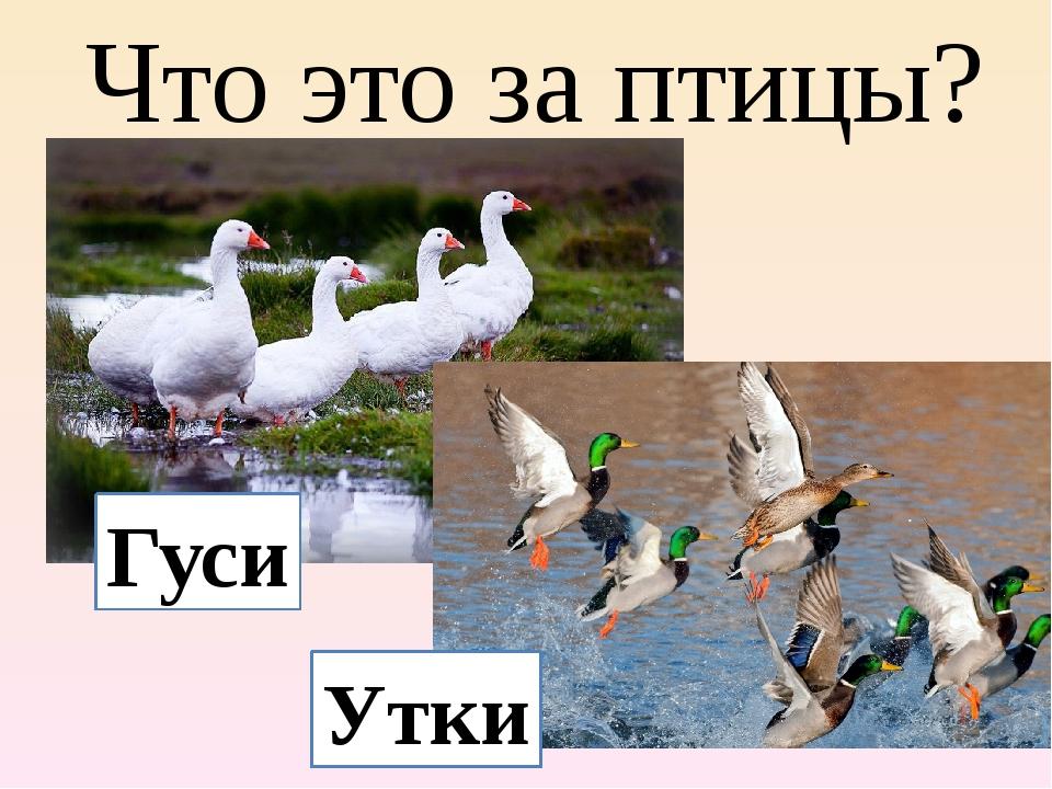 Гусь и утка отличия - ogorodguru