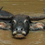 Описание и место обитания индийского буйвола
