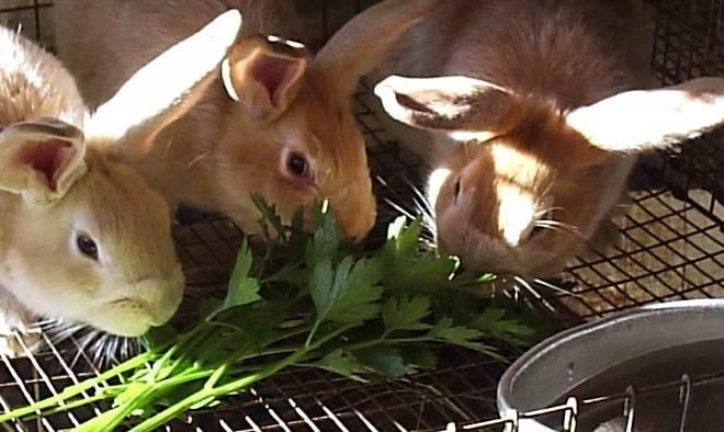 Можно ли давать свежий укроп кроликам декоративным, морским свинкам, курам и цыплятам, улиткам ахатинам, джунгарским хомякам, волнистым попугаям, как кормить?