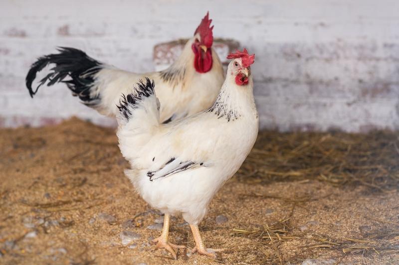Адлерские серебристые куры: описание породы и характеристики куриц несушек