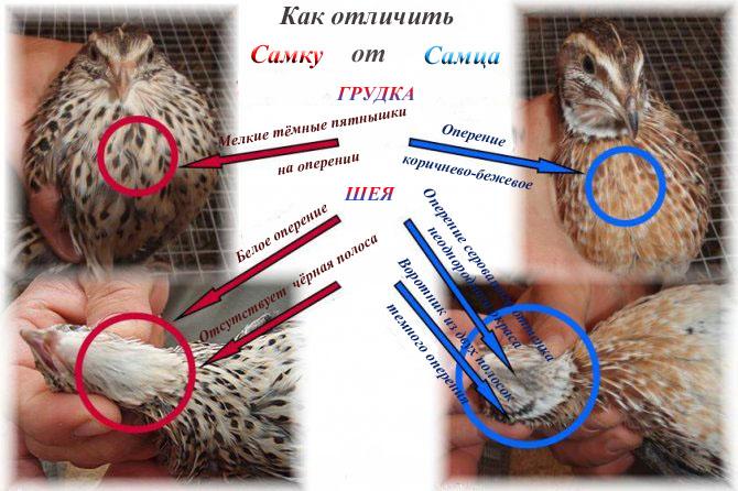 Разведение цесарок: как отличить самку от самца