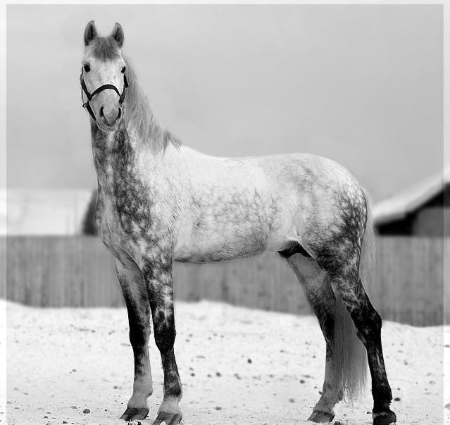 Орловская рысистая порода лошадей: история появления рысака, особенности породы и описание