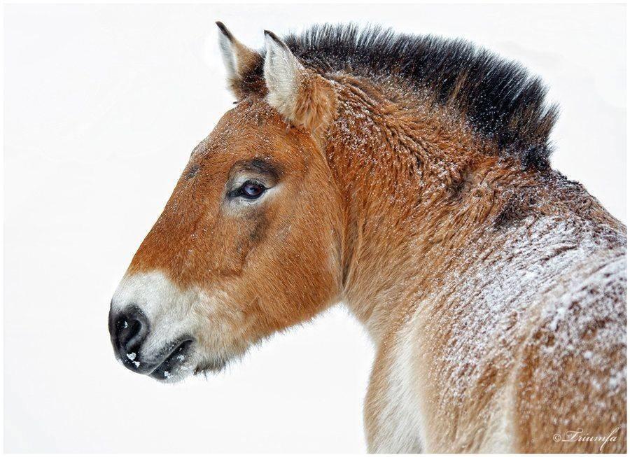 Дикая лошадь пржевальского